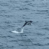 A Peale's dolphin catching some air near the bow of the ship.