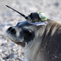 A female Weddell seal tagged with a temperature probe that will relay data via satellite to a central database. Linda Welzenbach/Rice University Permit: FCO 29/2018