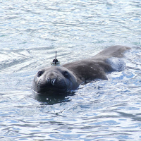 Tagged seal photographed by Lars Boehme